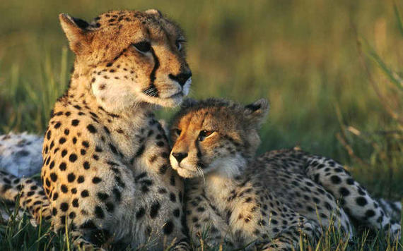 cheetah-mom-and-cub.jpg
